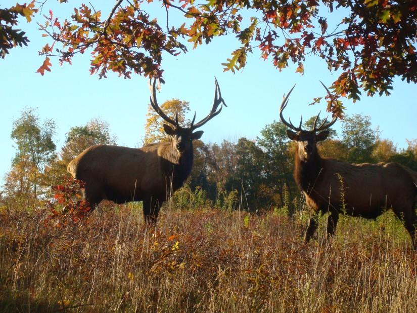 Renovo PA Wilds Elk